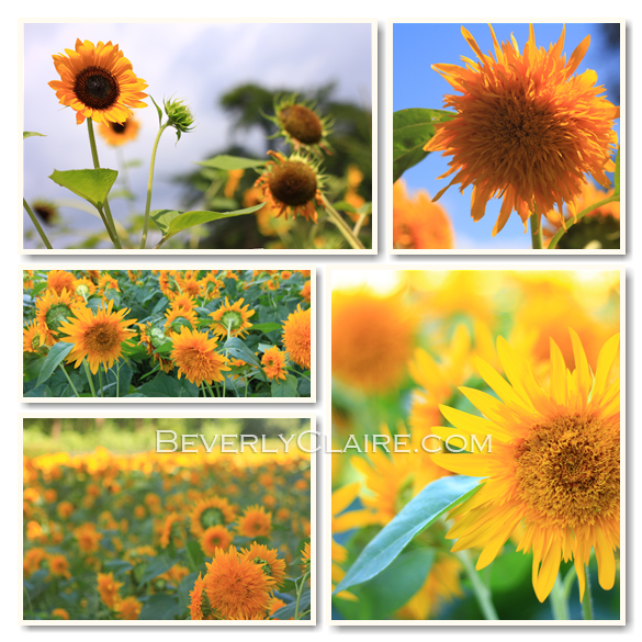 Sunflowers by Beverly Claire Photography