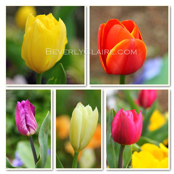 Tulips by Beverly Claire Photography